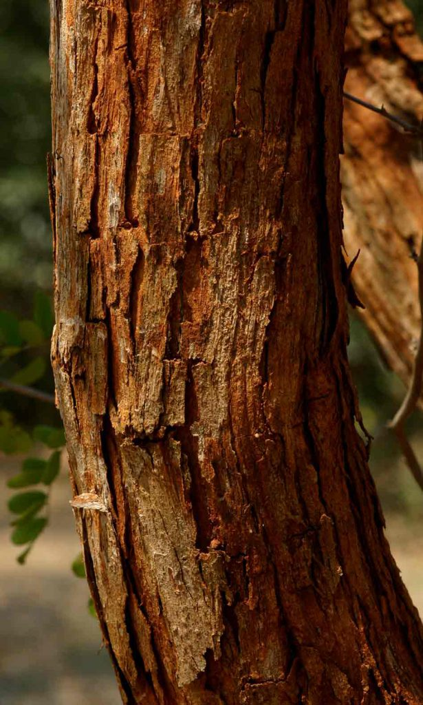 The rough, reddish bark of a Zimbabwean Dalbergia melanoxylon trunk