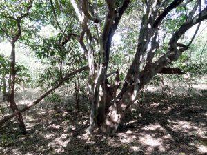 Dalbergia melanoxylon, or mpingo tree